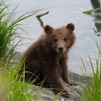 В «новой Москве» спасли спрятавшегося на дереве медвежонка